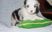 Australian Shepherd Puppies For Sale.